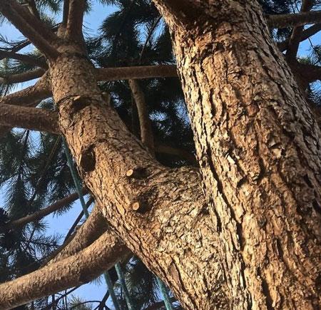 élagage houppier d'un arbre